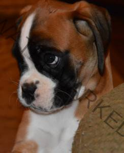 Pricing – Mountain Crest Boxers – Boxer Puppies for Sale